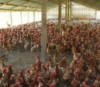 POULTRY FARMERS BLAME POOR CHRISTMAS SALES ON CHICKEN IMPORTS