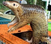 CORONA VIRUS: PANGOLINS FOUND TO CARRY VIRUSES RELATED TO COVID-19